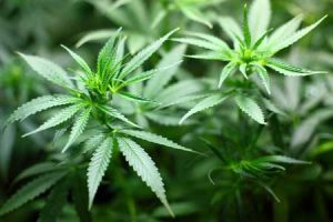 Cannabis: Wie gesund ist Cannabidiol (CBD)?